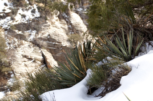 Desert plants surviving in the snow.
