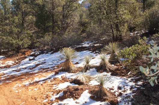 Desert plants coexist with pine, even in the snow.