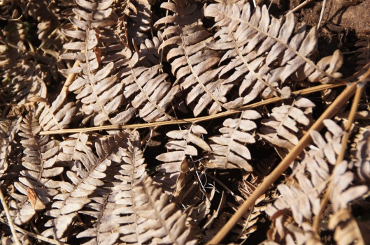 Ferns carpet the orchard floor, which is also covered with snow.