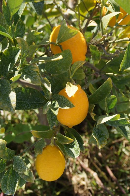 Lemons, a winter treat.