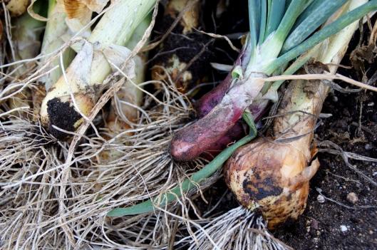 More onions.