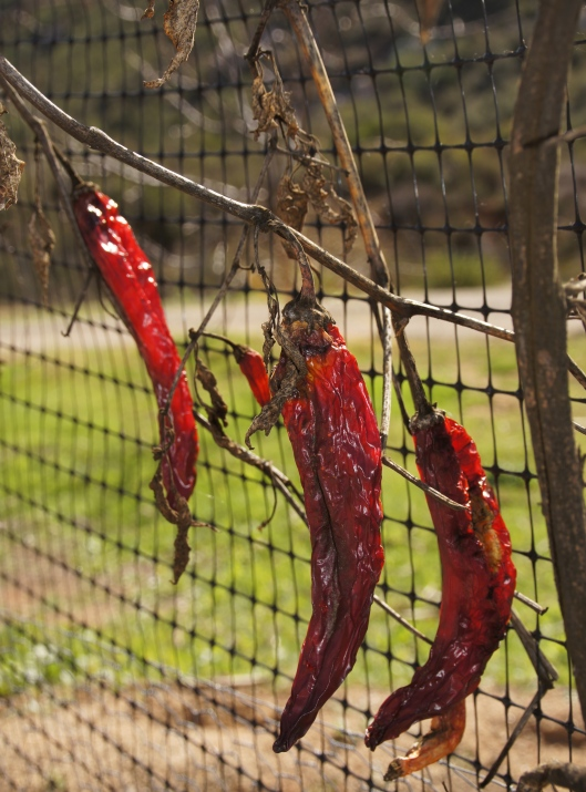 The last of the peppers, dried by the sun.
