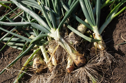 These are incredibly aromatic. We've had great soup from leeks like these.