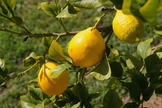Lemons may be a winter treat but they bring a hint of spring's promise.