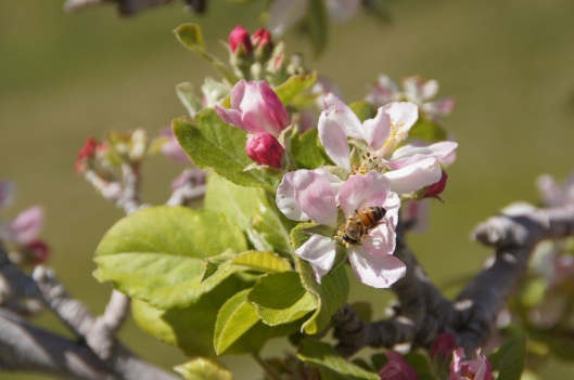 The apple trees, waiting for bees.