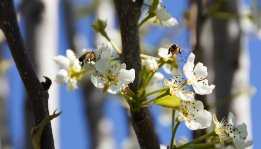 Bees in the Asian pear tree happily ignored me.