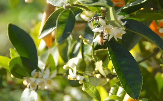 The scent from the mandarin trees was sweet and delicate.