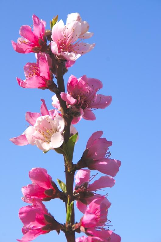 Peach tree?