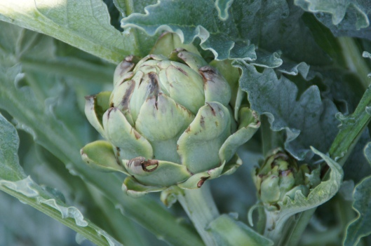 Artichokes. Flies have caused some damage, but we're still hoping that the later ones will be good.