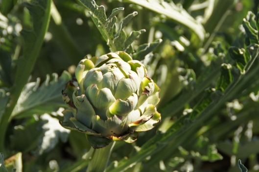 The bugs have been enjoying our artichokes.
