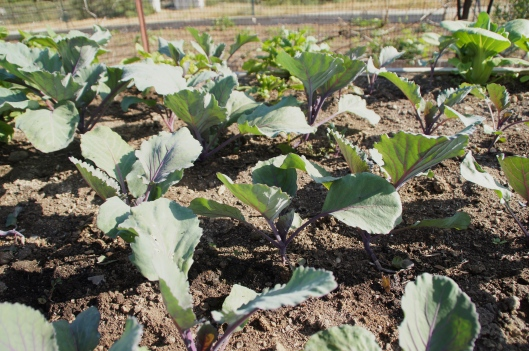 Red cabbage, providing a bit of shade.