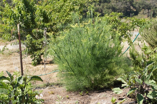 The wily fennel is starting to bloom. (I never knew that fennel did this.)