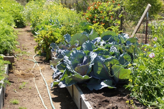 The cabbages, planted from seeds, have grown into small bushes.