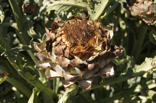 The artichokes, unfortunately, haven't fared as well. These will need to be trimmed so new ones can grow.