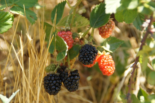 The blackberries are ripening on the vine, and some of them are already delicious. The quail nesting in the bush know this, too.
