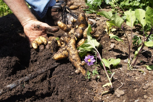 Fingerling potatoes, growing in ginger-shaped nodules. Not sure why, though.