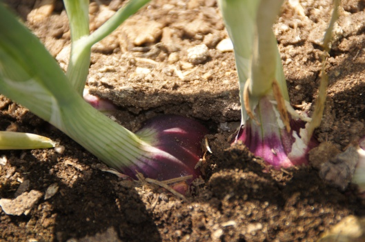 Red onions. When they grow up they will grace salads, soups, risotto. If any tears are shed while they are chopped, they will be tears of anticipation. A delicious meal will be coming.