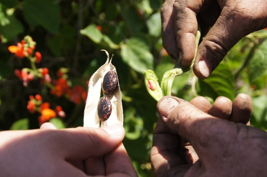 Scarlet runner beans. Mature beans are on the left;  early sprouts are on the right.