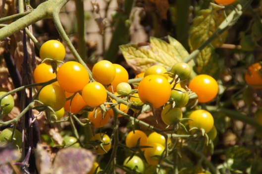 Yellow cherry tomatoes. Ripe and sweet.