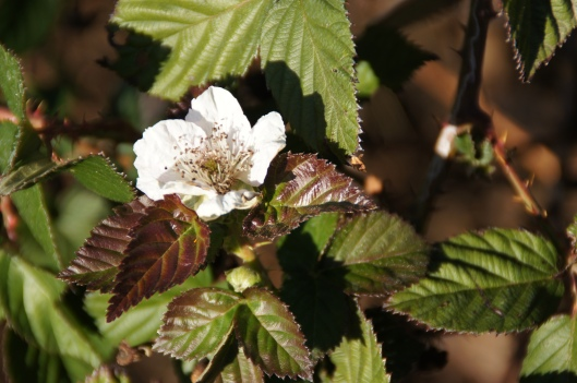 A lone early blackberry flower. A sign of things to come.
