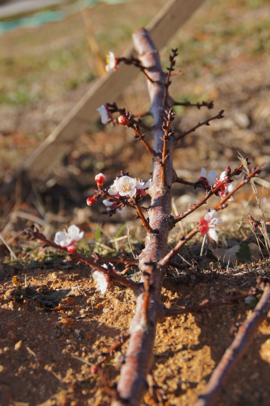 Apricot buds, trimmed five days ago. Blossoms still blooming